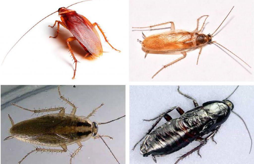 Strand Cockroach Control Specialist